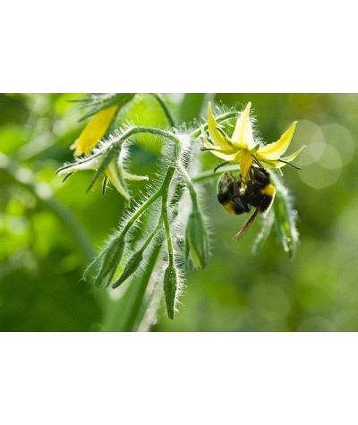 Hummeln Pollen